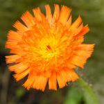 Orangerotes Habichtskraut Bluete Hieracium aurantiacum 04
