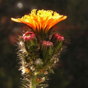 Bild: Orangerotes Habichtskraut Bluete Hieracium aurantiacum