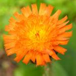 Bild: Orangerotes Habichtskraut Blüte rot orange Hieracium aurantiacum