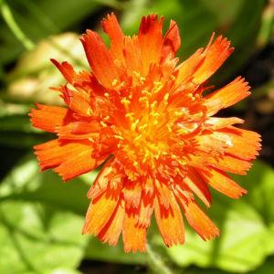Orangerotes Habichtskraut Bluete Hieracium aurantiacum 08