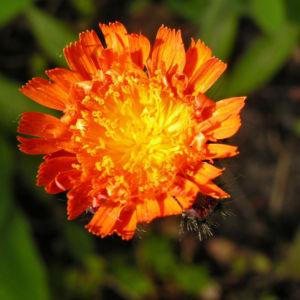 Orangerotes Habichtskraut Bluete Hieracium aurantiacum 10