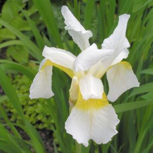 Orientalische Schwertlilie Bluete weiss gelb Iris orientalis Frigia 05
