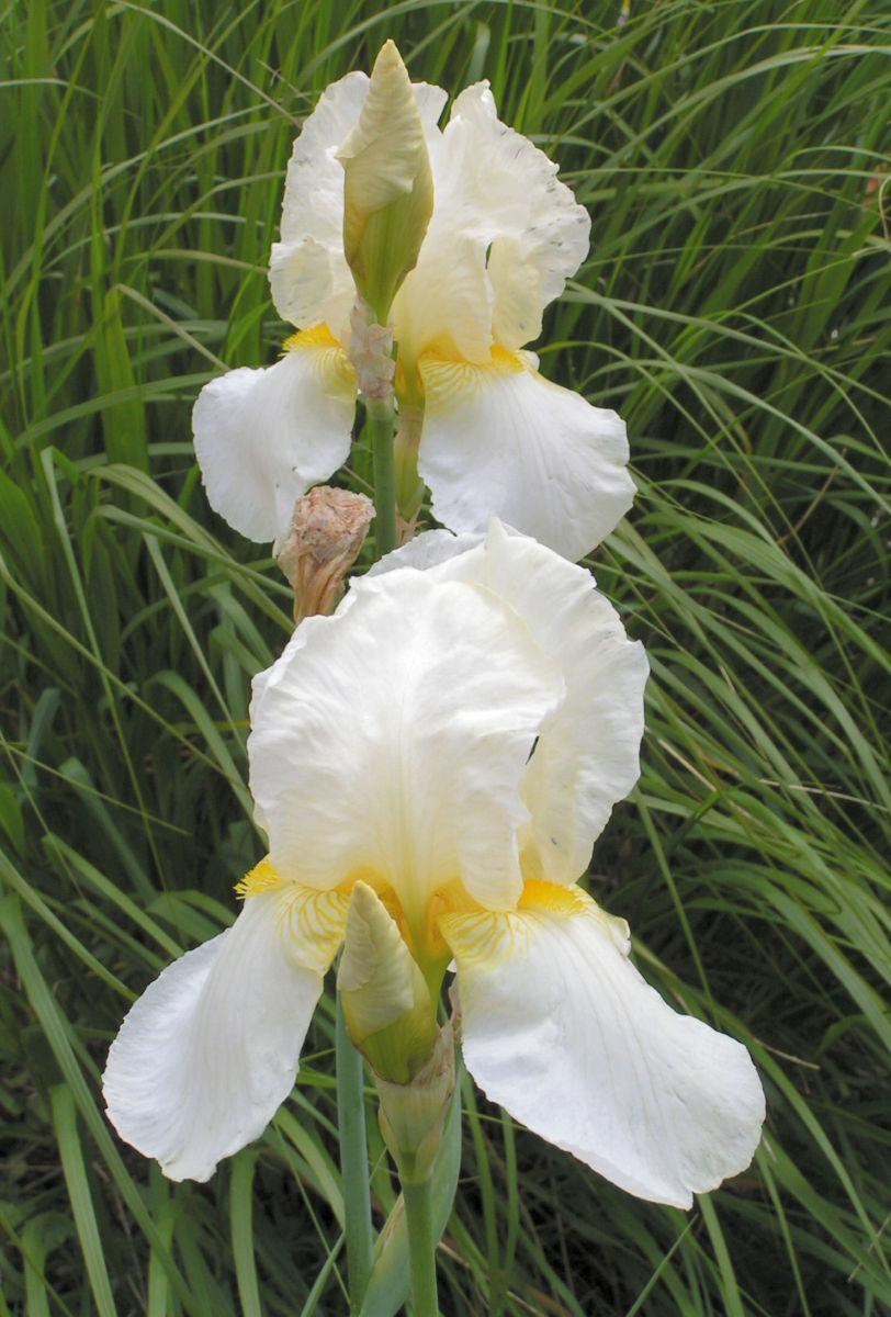 Orientalische Schwertlilie Bluete weiss gelb Iris orientalis Frigia