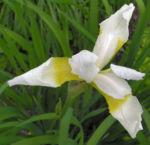 Bild: Orientalische Schwertlilie Blüte weiß gelb Iris orientalis frigia