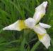 Zurück zum kompletten Bilderset Orientalische Schwertlilie Blüte weiß gelb Iris orientalis frigia