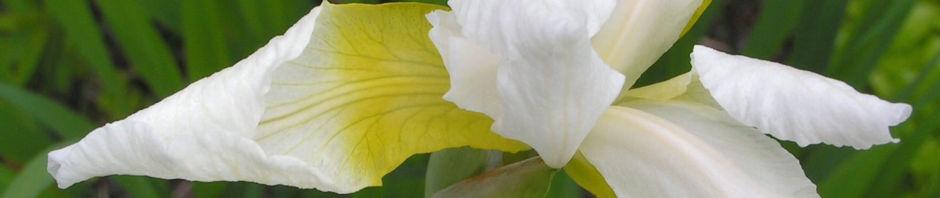 Anklicken um das ganze Bild zu sehen Orientalische Schwertlilie Blüte weiß gelb Iris orientalis frigia