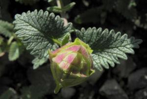 Orientalisches Helmkraut Blatt gruen Scutellaria orientalis 01