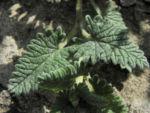 Orientalisches Helmkraut Blatt gruen Scutellaria orientalis 03