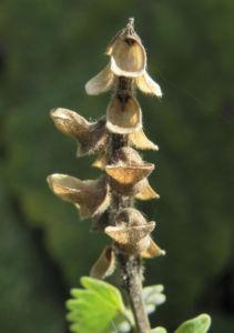 Orientalisches Helmkraut Bluete gelb Scutellaria orientalis 11