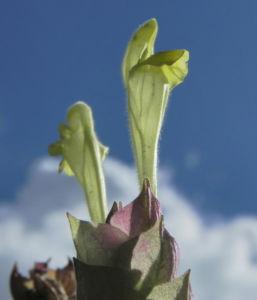 Orientalisches Helmkraut Bluete gelb Scutellaria orientalis 19