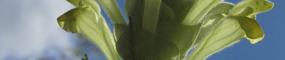 orientalisches-helmkraut-blatt-gruen-bluete-gelb-scutellaria-orientalis