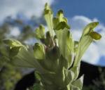 Bild: Orientalisches Helmkraut Blatt grün Blüte gelb Scutellaria orientalis