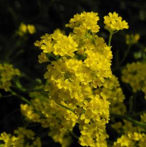 Orientalisches Steinkraut Bluete gelb Allyssum orientale 03