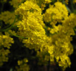Orientalisches Steinkraut Bluete gelb Allyssum orientale 04