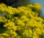 Orientalisches Steinkraut Bluete gelb Allyssum orientale 06