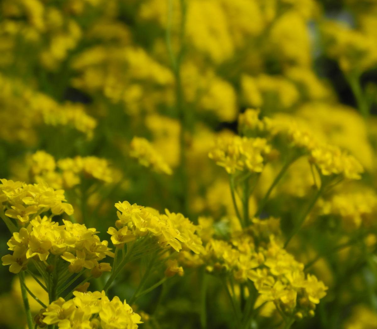 Orientalisches Steinkraut Bluete gelb Allyssum orientale