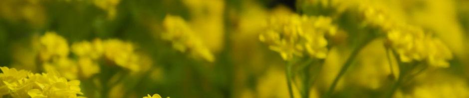 orientalisches-steinkraut-bluete-gelb-alyssum-orientale