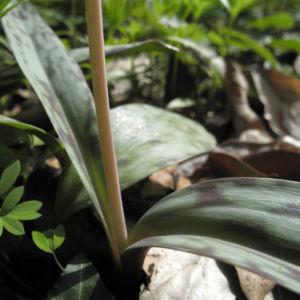 Ostamerikanischer Hundszahn Blatt gefleckt Erythronium americanum 02