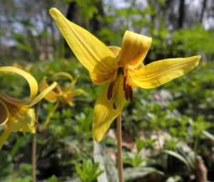 Ostamerikanischer Hundszahn Bluete gelb Erythronium americanum 05