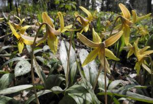 Ostamerikanischer Hundszahn Bluete gelb Erythronium americanum 09
