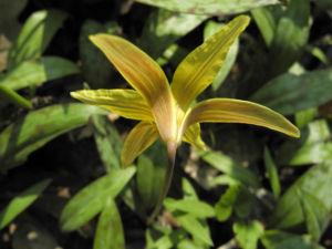 Ostamerikanischer Hundszahn Erythronium americanum