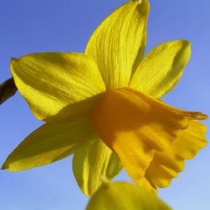 Osterglocke Narcissus pseudonarcissus 02