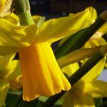 Bild: Osterglocke Blüte gelb Narcissus pseudonarcissus