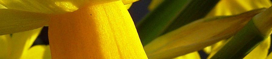 Anklicken um das ganze Bild zu sehen Osterglocke Blüte gelb Narcissus pseudonarcissus