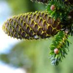 Ostsibirische Tanne Baum Zapfen braun gruen Abies sibirica 03