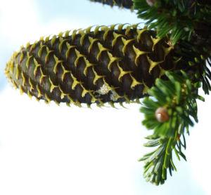 Ostsibirische Tanne Baum Zapfen braun gruen Abies sibirica 05