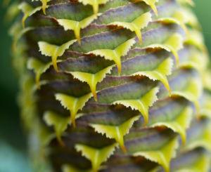 Ostsibirische Tanne Baum Zapfen braun gruen Abies sibirica 06