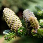 Ostsibirische Tanne Baum Zapfen braun gruen Abies sibirica 08