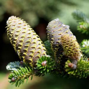 Ostsibirische Tanne Baum Zapfen braun grün Abies sibirica
