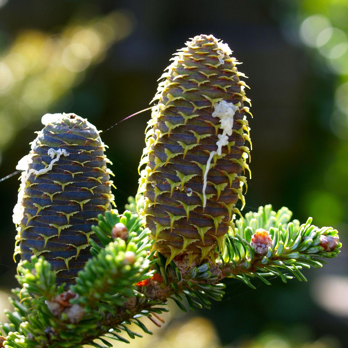 Ostsibirische Tanne Baum Zapfen braun gruen Abies sibirica