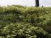 Zurück zum kompletten Bilderset Pagoden-Hartriegel Blüte weiß Cornus controversa