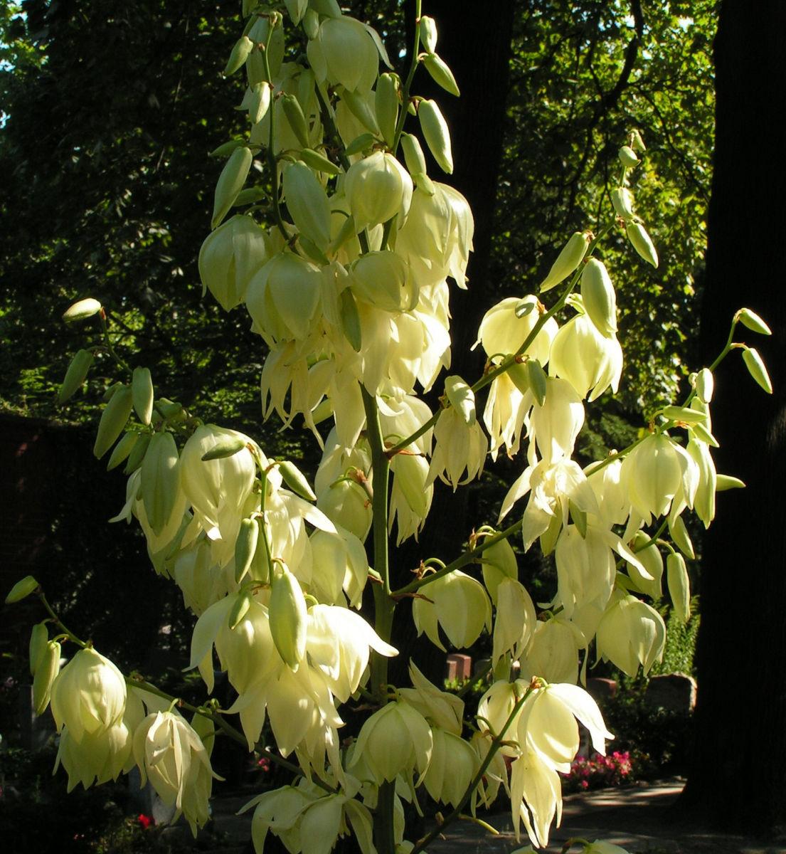 Palmlilie Bluete weiss Yucca gloriosa