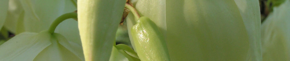 kerzen-palmlilie-bluete-weiss-yucca-gloriosa