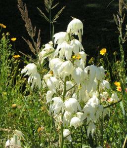 Seifen-Palmlilie Blüte weiß Yucca elata