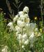 Zurück zum kompletten Bilderset Seifen-Palmlilie Blüte weiß Yucca elata