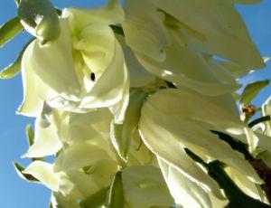 Palmlilie Josua Baum Bluete weiss Yucca elata 05