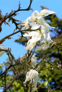 Palmlilie Josua Baum Bluete weiss Yucca elata 10
