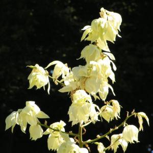 Palmlilie Josua Baum Bluete weiss Yucca elata 12