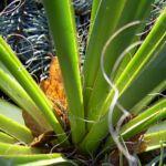 Palmlilie Yucca 03