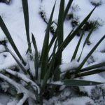 Palmlilie Yucca 01