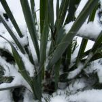Palmlilie Yucca 02