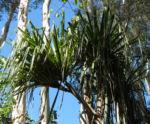 Pandanus Blatt gruen Pandanus tectoris 08