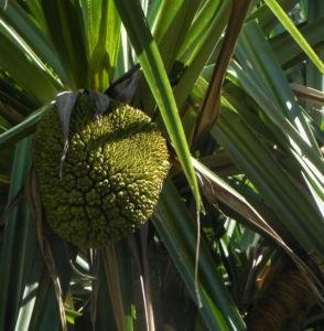 Pandanus Frucht Blatt gruen Pandanus tectoris 09