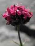 Bild:  Pannonische Karthäuser-Nelke Blüte pink Dianthus pontederae