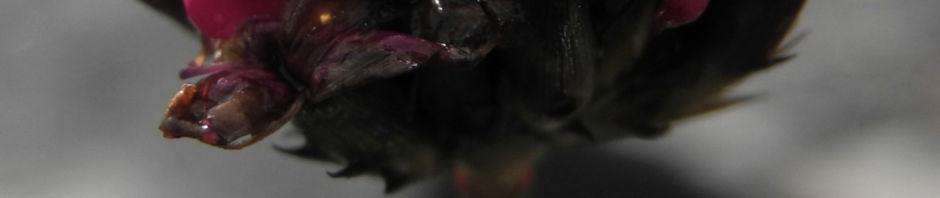 pannonische-karthaeuser-nelke-bluete-pink-dianthus-pontederae