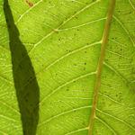 Papaya Blatt Blatt gruen Carica papaya 02